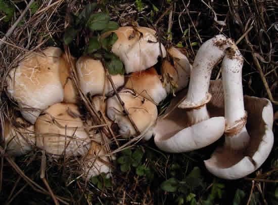 Agrocybe cylindracea - manitari.gr
