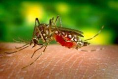 Ιός του Νείλου - Κουνούπια