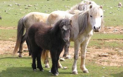 skyriana. αλογα