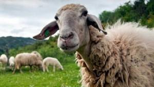 probata προβατα