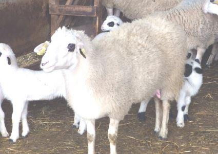 probato προβατο