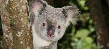koala-708