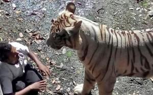 τιγρη